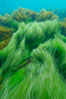 Surf grass on the rocky reef -- appearing blurred in this time exposure -- is tossed back and forth by powerful ocean waves passing by above.  San Clemente Island. San Clemente Island, California, USA. Image #10239