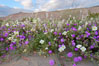 Dune primrose (white) and sand verbena (purple) bloom in spring in Anza Borrego Desert State Park, mixing in a rich display of desert color.  Anza Borrego Desert State Park. Anza-Borrego Desert State Park, Anza Borrego, California, USA. Image #10464