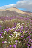 Dune primrose (white) and sand verbena (purple) bloom in spring in Anza Borrego Desert State Park, mixing in a rich display of desert color.  Anza Borrego Desert State Park. Anza-Borrego Desert State Park, Anza Borrego, California, USA. Image #10467