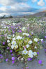 Dune primrose (white) and sand verbena (purple) bloom in spring in Anza Borrego Desert State Park, mixing in a rich display of desert color.  Anza Borrego Desert State Park. Anza-Borrego Desert State Park, Anza Borrego, California, USA. Image #10468