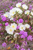 Dune primrose (white) and sand verbena (purple) bloom in spring in Anza Borrego Desert State Park, mixing in a rich display of desert color.  Anza Borrego Desert State Park. Anza-Borrego Desert State Park, Anza Borrego, California, USA. Image #10477