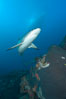Caribbean reef shark swims over a coral reef. Bahamas. Image #10552