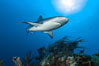 Caribbean reef shark swims over a coral reef. Bahamas. Image #10557