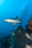 Caribbean reef shark swims over a coral reef. Bahamas. Image #10558