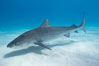 Tiger shark. Bahamas. Image #10646
