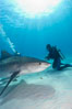 Tiger shark and diver. Bahamas. Image #10651