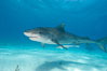 Tiger shark and live sharksucker (remora). Bahamas. Image #10652