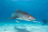 Tiger shark and photographer Ken Howard. Bahamas. Image #10653