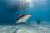 Tiger shark. Bahamas. Image #10655