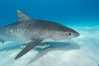 Tiger shark and live sharksucker (remora). Bahamas. Image #10666