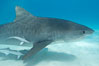 Tiger shark and live sharksucker (remora). Bahamas. Image #10677