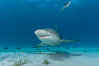 Lemon shark with live sharksuckers. Bahamas. Image #10759