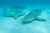 Lemon shark with live sharksuckers. Bahamas. Image #10763