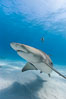 Lemon shark. Bahamas. Image #10767