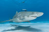 Lemon shark with live sharksuckers. Bahamas. Image #10774