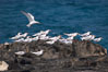 Royal terns, Great Isaac Island, Bahamas. Image #10819