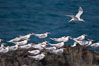 Royal terns. Great Isaac Island, Bahamas. Image #10820
