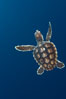 A young loggerhead turtle.  This turtle was hatched and raised to an age of 60 days by a turtle rehabilitation and protection organization in Florida, then released into the wild near the Northern Bahamas. Bahamas. Image #10887