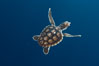 A young loggerhead turtle.  This turtle was hatched and raised to an age of 60 days by a turtle rehabilitation and protection organization in Florida, then released into the wild near the Northern Bahamas. Image #10888