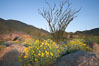 Brittlebush, ocotillo and various cacti and wildflowers color the sides of Glorietta Canyon.  Heavy winter rains led to a historic springtime bloom in 2005, carpeting the entire desert in vegetation and color for months. Anza-Borrego Desert State Park, Anza Borrego, California, USA. Image #10892