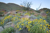 Brittlebush, ocotillo and various cacti and wildflowers color the sides of Glorietta Canyon.  Heavy winter rains led to a historic springtime bloom in 2005, carpeting the entire desert in vegetation and color for months. Anza-Borrego Desert State Park, Anza Borrego, California, USA. Image #10893