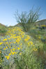Brittlebush, ocotillo and various cacti and wildflowers color the sides of Glorietta Canyon.  Heavy winter rains led to a historic springtime bloom in 2005, carpeting the entire desert in vegetation and color for months. Anza-Borrego Desert State Park, Anza Borrego, California, USA. Image #10898