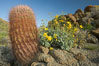 Barrel cactus, brittlebush and wildflowers color the sides of Glorietta Canyon.  Heavy winter rains led to a historic springtime bloom in 2005, carpeting the entire desert in vegetation and color for months. Anza-Borrego Desert State Park, Anza Borrego, California, USA. Image #10899