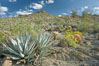 Desert agave, brittlebush and various cacti and wildflowers color the sides of Glorietta Canyon.  Heavy winter rains led to a historic springtime bloom in 2005, carpeting the entire desert in vegetation and color for months. Anza-Borrego Desert State Park, Anza Borrego, California, USA. Image #10900