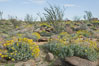 Brittlebush, ocotillo and various cacti and wildflowers color the sides of Glorietta Canyon.  Heavy winter rains led to a historic springtime bloom in 2005, carpeting the entire desert in vegetation and color for months. Anza-Borrego Desert State Park, Anza Borrego, California, USA. Image #10908