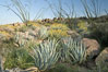 Desert agave, brittlebush, ocotillo and various cacti and wildflowers color the sides of Glorietta Canyon.  Heavy winter rains led to a historic springtime bloom in 2005, carpeting the entire desert in vegetation and color for months. Anza-Borrego Desert State Park, Anza Borrego, California, USA. Image #10920