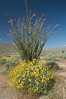 Brittlebush, ocotillo and various cacti and wildflowers color the sides of Glorietta Canyon.  Heavy winter rains led to a historic springtime bloom in 2005, carpeting the entire desert in vegetation and color for months. Anza-Borrego Desert State Park, Anza Borrego, California, USA. Image #10938