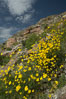Clusters of desert poppy climb the steep sides of the Borrego Valley. Heavy winter rains led to a historic springtime bloom in 2005, carpeting the entire desert in vegetation and color for months. Anza-Borrego Desert State Park, Anza Borrego, California, USA. Image #10948