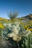 Cholla cactus, brittlebush, ocotillo and various cacti and wildflowers color the sides of Glorietta Canyon.  Heavy winter rains led to a historic springtime bloom in 2005, carpeting the entire desert in vegetation and color for months. Anza-Borrego Desert State Park, Anza Borrego, California, USA. Image #10975