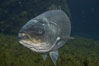 Striped bass (striper, striped seabass). Image #10976