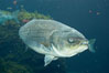 Striped bass (striper, striped seabass). Image #10979