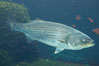 Striped bass (striper, striped seabass). Image #10986