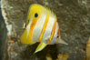 Copperband butterflyfish. Image #10997