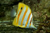 Copperband butterflyfish. Image #10998