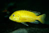 Lions cove yellow labido. Image #11004