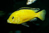 Lions cove yellow labido. Image #11005