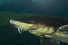 Atlantic sturgeon. Image #11024