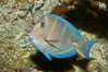 Blue tang, showing remnants of vertical bars characteristic of subadults. Image #11041