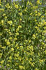 Black mustard, Batiquitos Lagoon, Carlsbad. California, USA. Image #11297