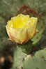 Coast prickly pear cactus in bloom, Batiquitos Lagoon, Carlsbad. California, USA. Image #11358