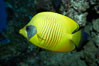 Masked butterflyfish. Image #11806