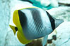 Pacific double-saddle butterflyfish. Image #11815
