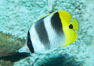 Pacific double-saddle butterflyfish. Image #11816