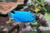 Sapphire devil (blue damselfish), female/juvenile coloration. Image #11833