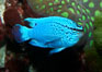 Sapphire devil (blue damselfish), female/juvenile coloration. Image #11834