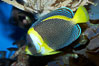 Scribbled angelfish. Image #11836